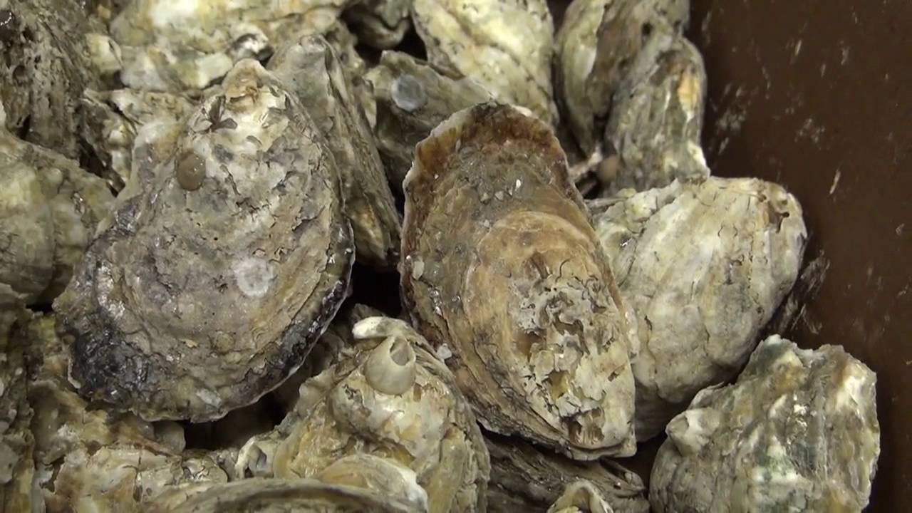 Fish Tales Episode 5: October is for Oysters