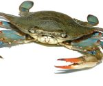 Updates on Soft Shell Crabs, Skuna Bay Salmon, and Black Sea Bass
