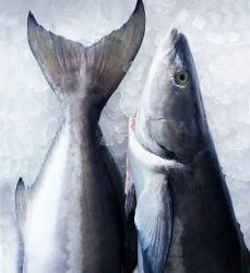 Open Blue Cobia – A New Taste for Your Spring Menu
